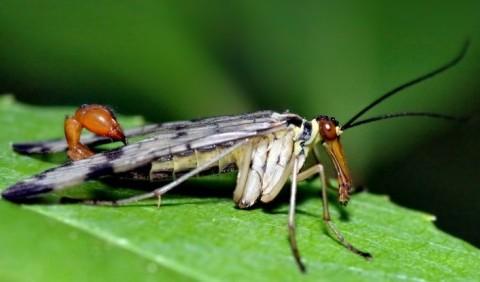Панорпа звичайна, або скорпіонниця (Panorpa communis)