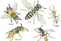 Перетинчастокрилі – ряд комах (Hymenoptera)