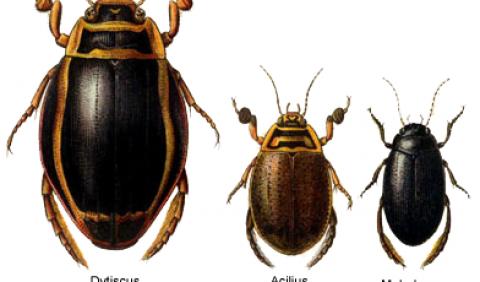 Плавунцеві, або плавунці – родина комах (Dytiscidae)