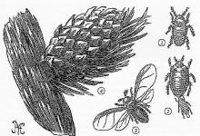 Попелиці, або тлі, або тлеві – надродина комах (Aphididae)
