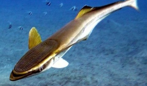 Причепові – родина риб (Echeneidae)