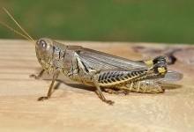 Прямокрилі – ряд комах (Orthoptera)