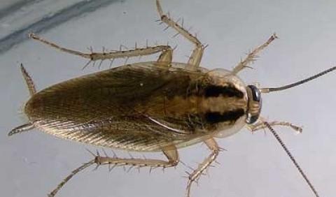Прусак рудий (Blatella germanica)