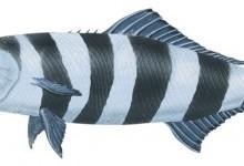 Риба-лоцман (Naucrates ductor)