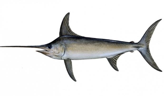 Риба-меч, або мечорил (Xiphias gladius)