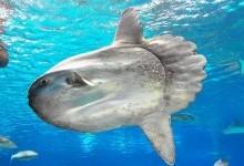Риба-місяць, або риба-сонце (Mola molä)
