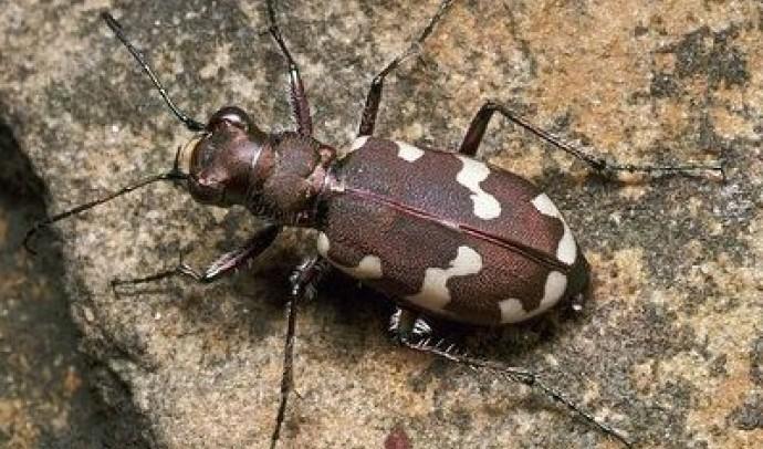 Скакуни – підродина комах (Cicindelae)