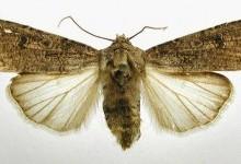 Совка озима, або нічниця озима (Agrotis segetum)