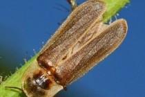 Світляк звичайний, або Іванів черв'ячок (Lampyris noctiluca)
