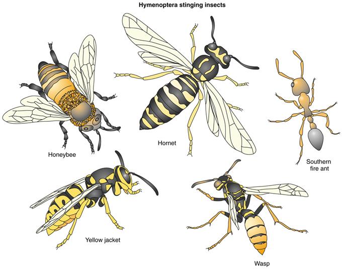 honey bees vs yellow jackets - 680×535